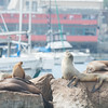 California Sea Lions, Monterrey Bay, California