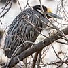 Yellow-crowned Night-Heron; Sausalito, Marin County, CA; 13 January 2021