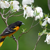 Male Baltimore Oriole in the rain with dogwood blossoms