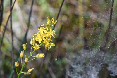 Yellow Sunnybells and Spider Webs