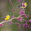 Two male American Goldfinches in redbud blossoms