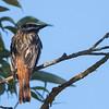 Sulphur-bellied Flycatcher Sonoma August 2021