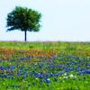 Texas Blue bonnets in Springtime