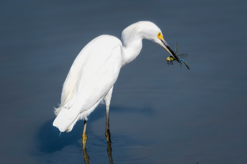Hunting a Dragonfly by White Egret