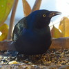 Common Grackle - home - November 7, 2016