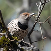 Red-shafted Flicker, Grass Valley, Nevada County, CA; March 2021