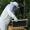 Elizabeth Callahan lifts a frame from a beehive brood chamber. She said she started keeping bees earlier this year.