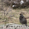 Dusky Grouse, Black Canyon NP,  Colorado, 19 April 2016