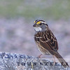 White-throated Sparrow, Shoshone, Inyo County, CA; 29 October 2015