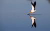 Avocet Wings