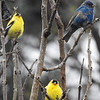 Indigo Buntings and Friends