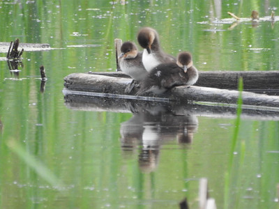Hooded Merganser Ducklings