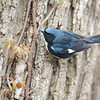 Black throated Blue Warbler, Magee Marsh, OH