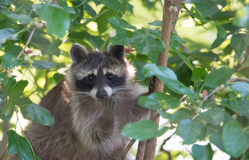 Raccoon Eating Mulberries, Indiana