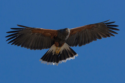 Harris Hawk, Tucson Arizona