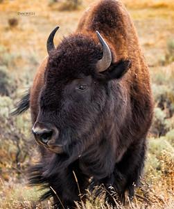 The Windy Buffalo