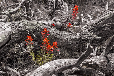 Indian Paint Brush flowers, Flagstaff, AZ