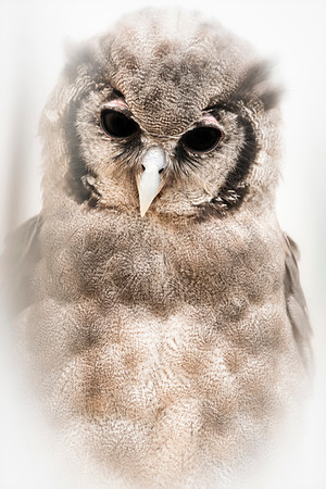 Oliver, the Owl