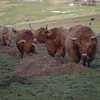 Fereneze cows<br /> 21st March 2017