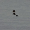 Trio of seals, Isle of Arran<br /> 19th February 2017