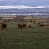 View over Paisley and Glasgow, with Highland Cows!<br /> 21st March 2017