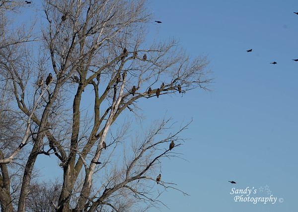 All of these eagles were sitting in this tree over an mostly ice covered pond watching other eagles devour a fish.