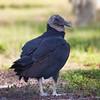 American Black Vulture