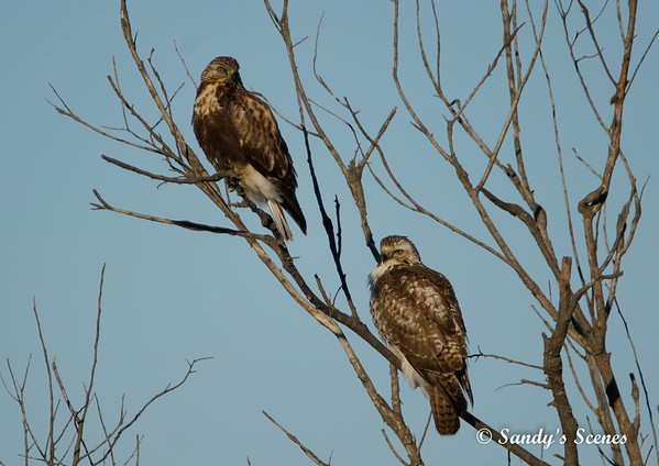 Juvenile Red-tailed Hawks