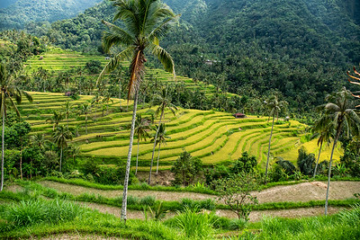 Lush green tropical ice terrace fields of Bali Indonesia