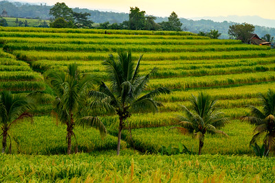 Lush tall green rice crop ready for harvest on the terraces lined by palm trees