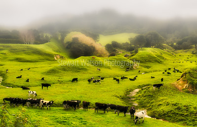 Diary cows grazing farmland pasture on a wet foggy day in rural Wairarapa New Zealand