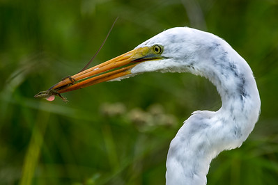 egret and gecko-3901