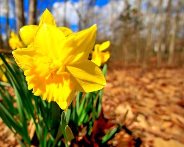 Daffodil cropped_RWC1956
