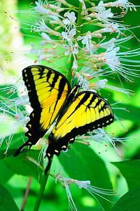 DSC_4166 Butterfly