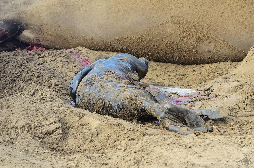 Elephant Seal giving birth