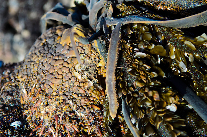 Kelp roots