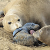 Elephant Seal bonding after birth