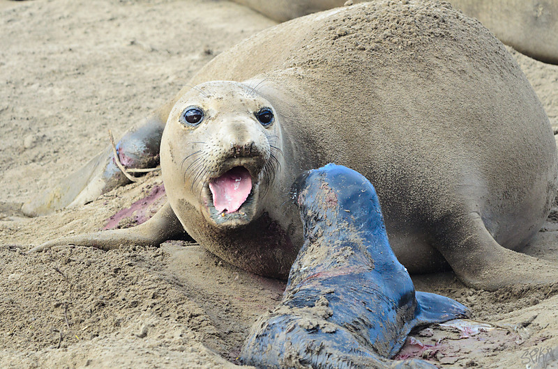 Elephant Seal bonding after birth
