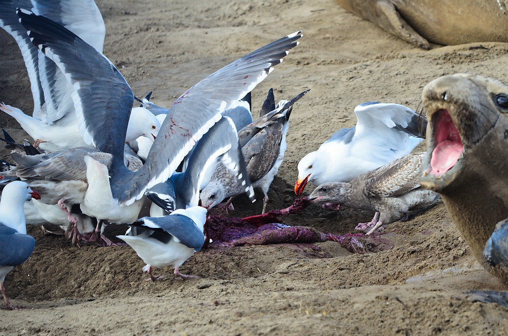 Elephant Seal delivery- the fight for the placenta