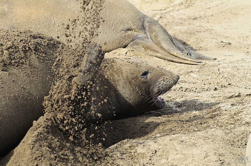Elephant Seal giving birth
