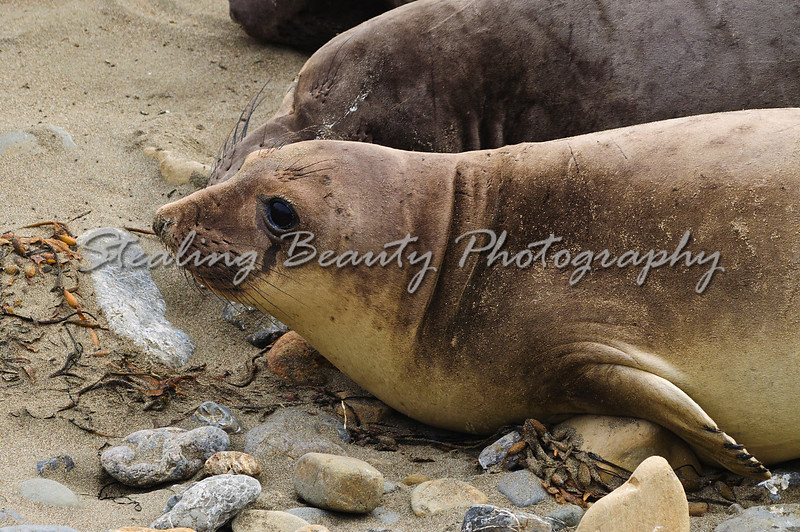 Elephant Seal colony at Piedras Blancas