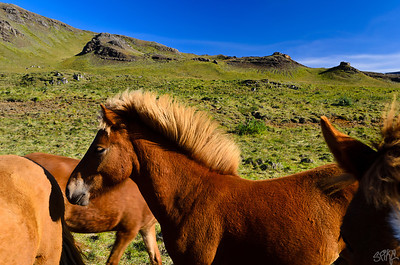 Proud Icelandic Horses
