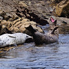 Harbor Seal Yawn
