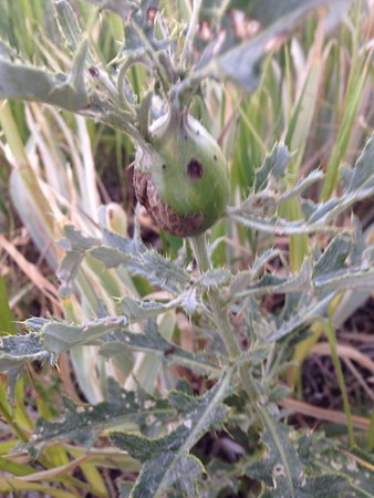 Many of the thistles have mysterious fat bellies like this.  And it looks like the grasshoppers find them tasty.