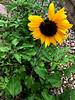 sunflower jungle