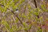 4-30-16 Blue-gray Gnatcatcher 3