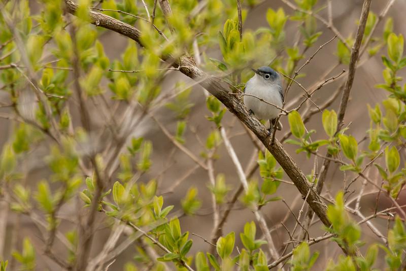 4-30-16 Blue-gray Gnatcatcher 1