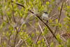 4-30-16 Blue-gray Gnatcatcher 1