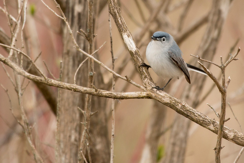4-30-16 Blue-gray Gnatcatcher 16