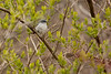 4-30-16 Blue-gray Gnatcatcher 6